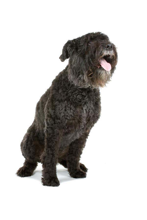 Cão do DES de Bouvier Flandres foto de stock royalty free