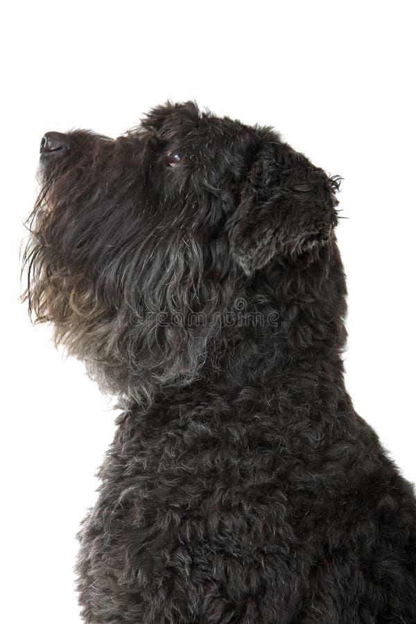 Cão do DES de Bouvier Flandres foto de stock