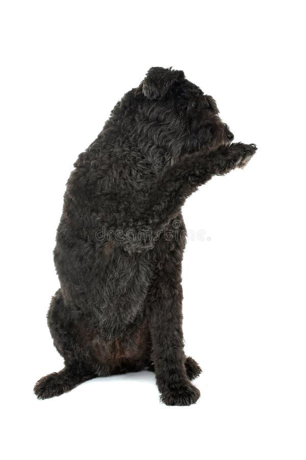 Cão do DES de Bouvier Flandres imagem de stock royalty free