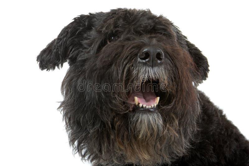 Cão do DES de Bouvier Flandres fotografia de stock royalty free