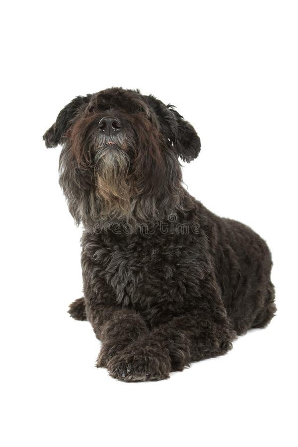 Cão do DES de Bouvier Flandres fotos de stock royalty free