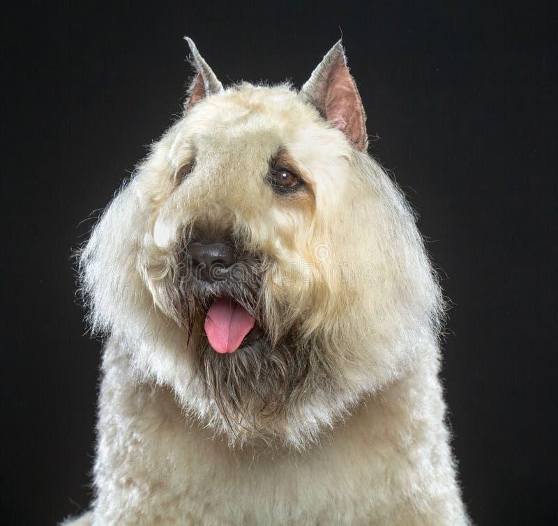 Cão do DES Flandres de Bouvier isolado no fundo preto imagens de stock