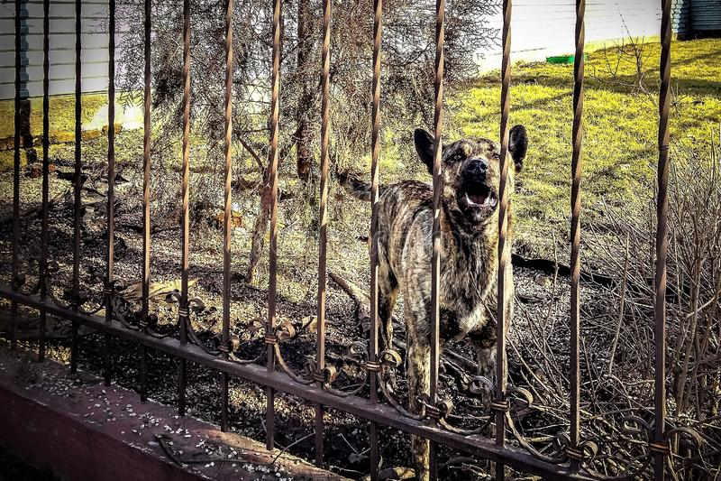 Cão do descascamento de um pastor atrás de uma cerca forjada imagens de stock