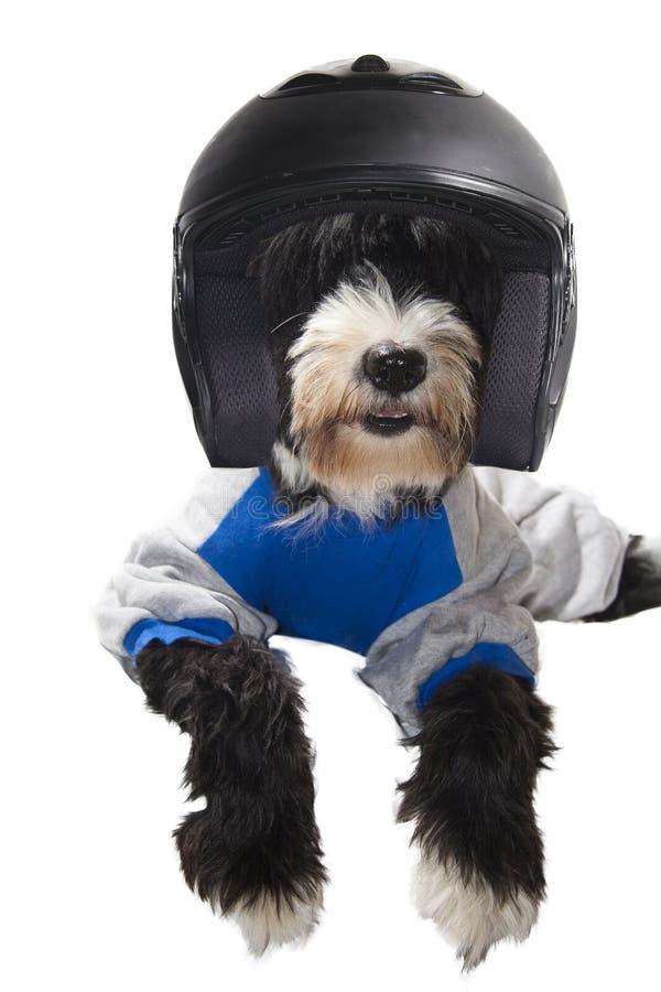 Cão do excitador de raça imagens de stock