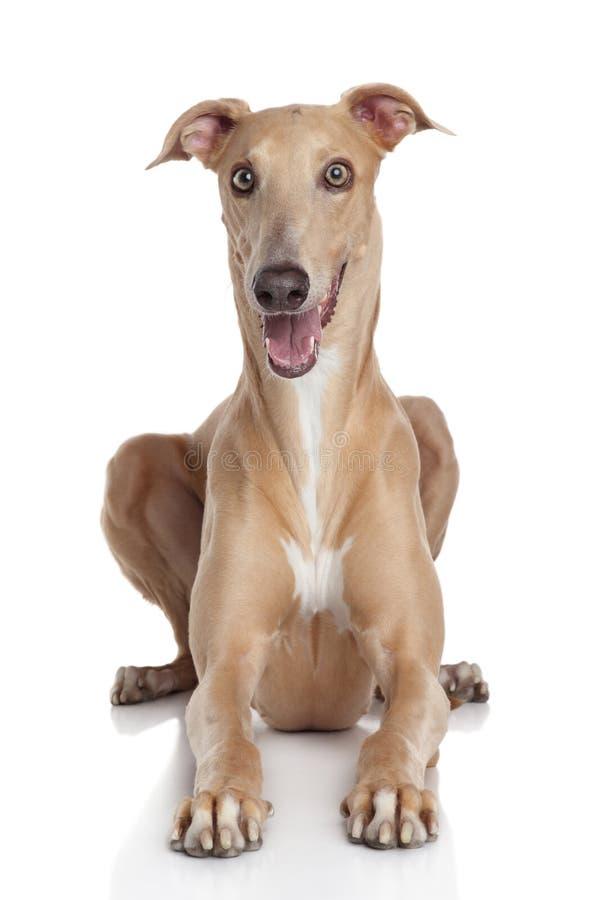 Cão do galgo no fundo branco fotos de stock royalty free