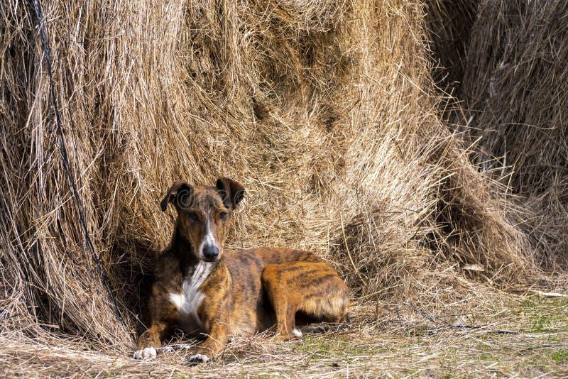 Cão do galgo que encontra-se em um pacote da palha fotos de stock royalty free