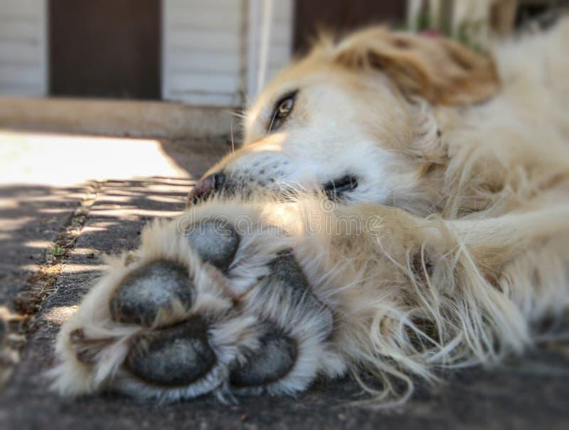 Cão do golden retriever com as patas grandes que encontram-se para baixo imagem de stock