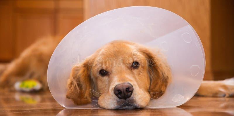 Cão do golden retriever com um colar do cone após uma viagem ao vete fotos de stock