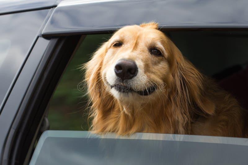 Cão do golden retriever do puro-sangue imagem de stock