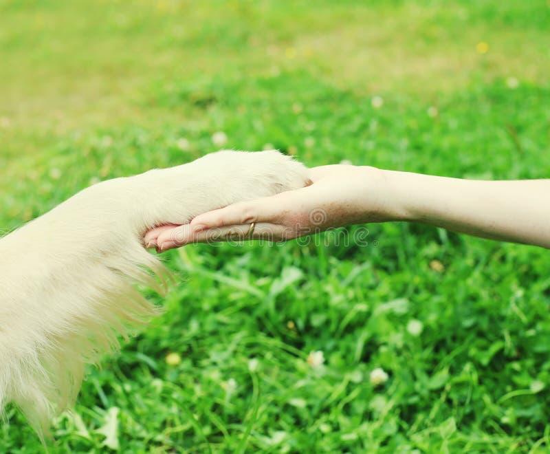 Cão do golden retriever do treinamento do proprietário, dando a pata foto de stock