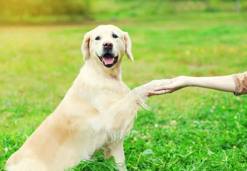 Cão do golden retriever do treinamento do proprietário, dando a pata imagens de stock
