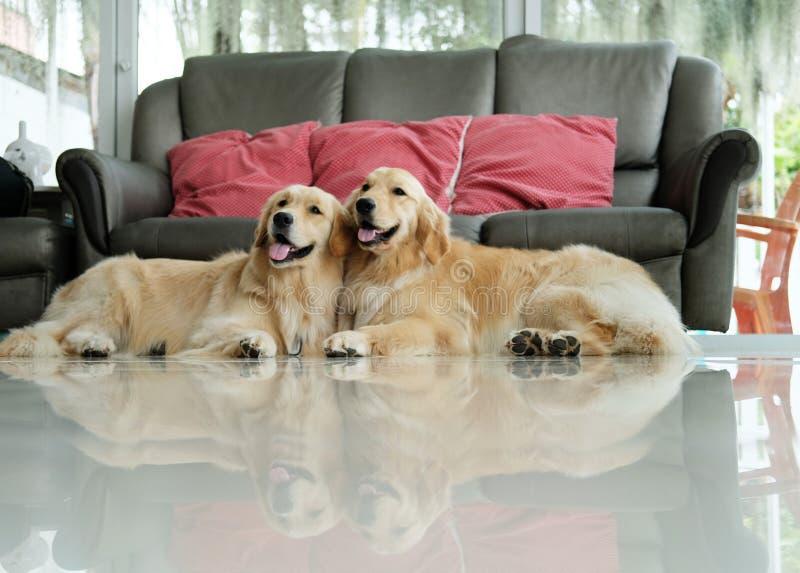Cão do golden retriever dois que encontra-se para baixo no assoalho imagens de stock