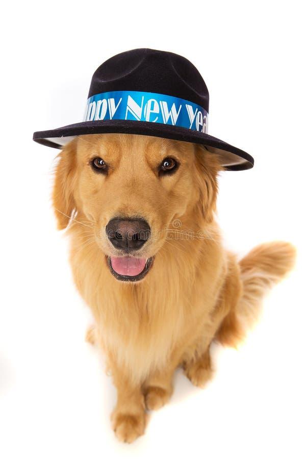Cão do golden retriever na véspera de anos novos fotos de stock