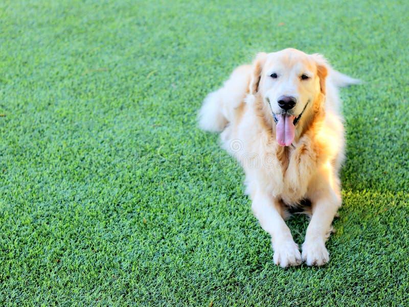 Cão do golden retriever para estabelecer na grama verde fotos de stock