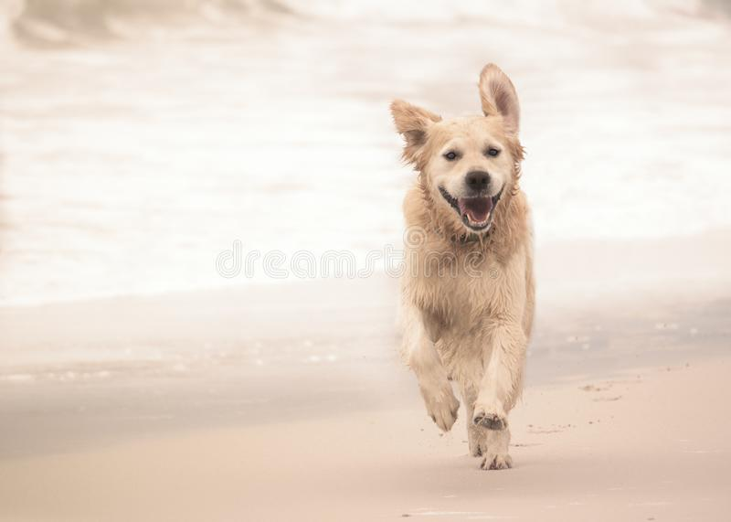 Cão do golden retriever que corre ao longo da praia foto de stock royalty free