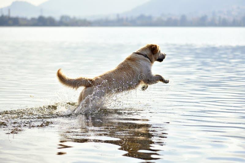 Cão do golden retriever que corre na água imagem de stock royalty free