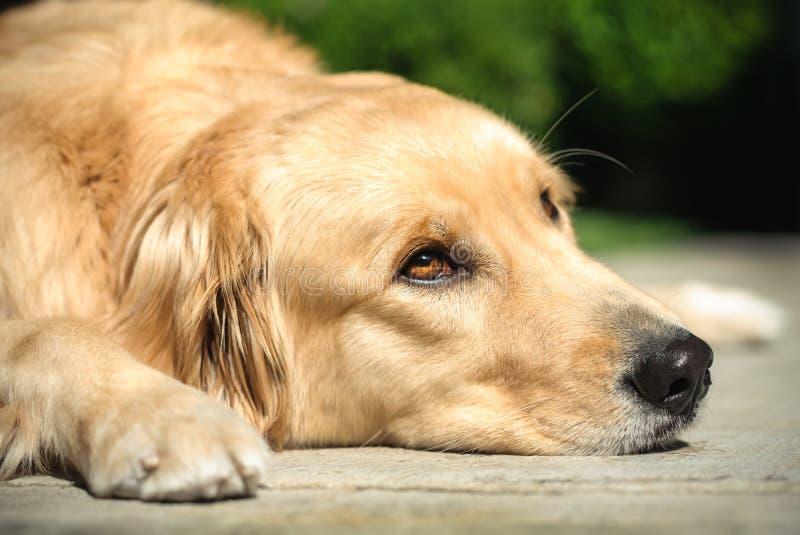 Cão do golden retriever que encontra-se no assoalho imagem de stock royalty free