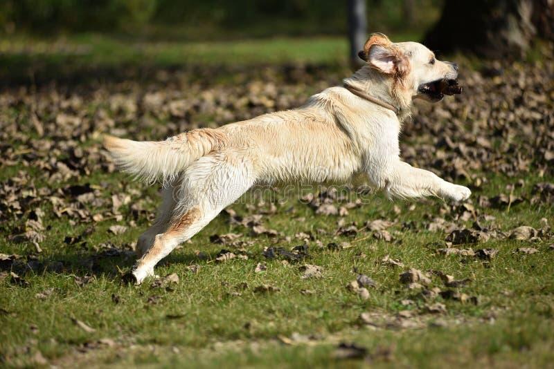 Cão do golden retriever que joga na grama imagem de stock