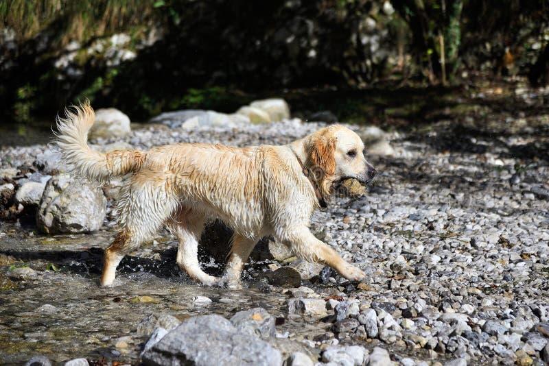Cão do golden retriever que joga no lago foto de stock