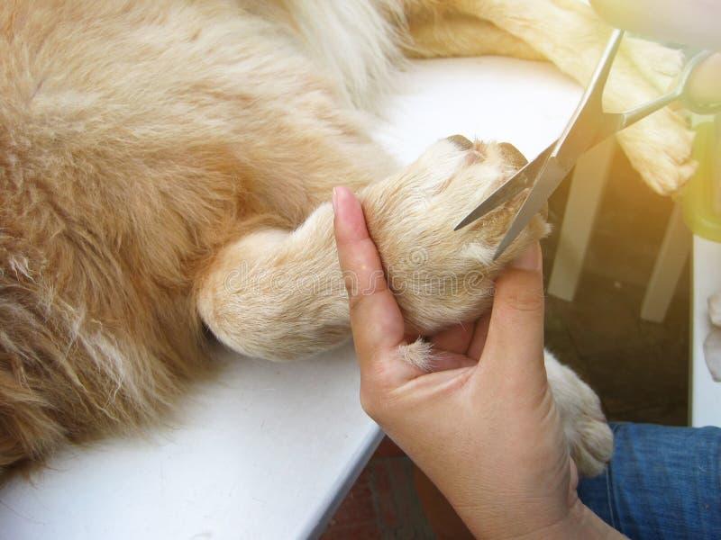 Cão do golden retriever que obtém o corte do cabelo imagens de stock