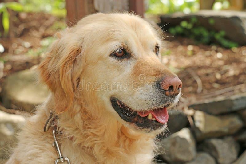 Cão do golden retriever que olha com colar e grampo fotos de stock royalty free