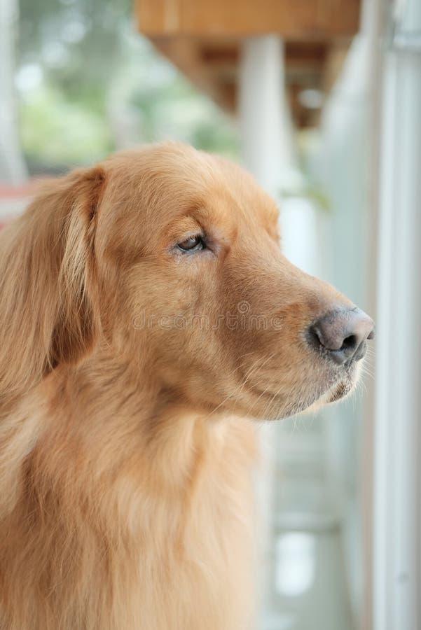 Cão do golden retriever que olha fora da janela de vidro imagens de stock royalty free
