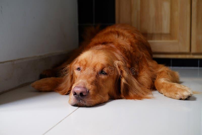 Cão do golden retriever sonolento no assoalho dentro e olhando a câmera fotos de stock