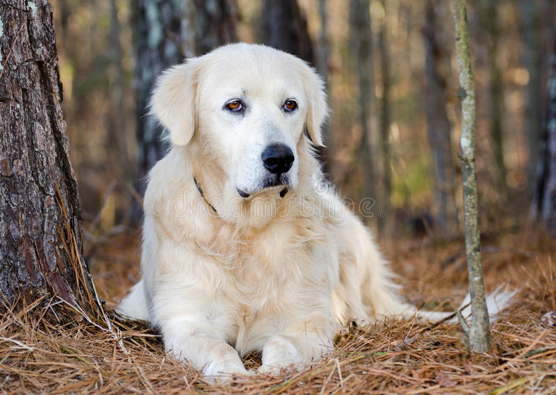 Cão do guardião dos rebanhos animais de grandes Pyrenees foto de stock royalty free