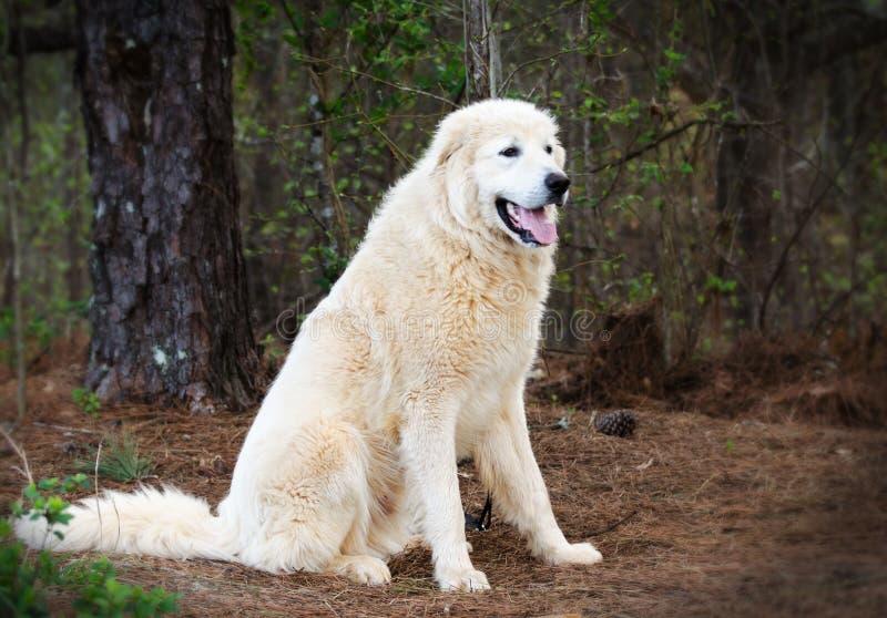 Cão do guardião dos rebanhos animais de grandes Pyrenees fotografia de stock