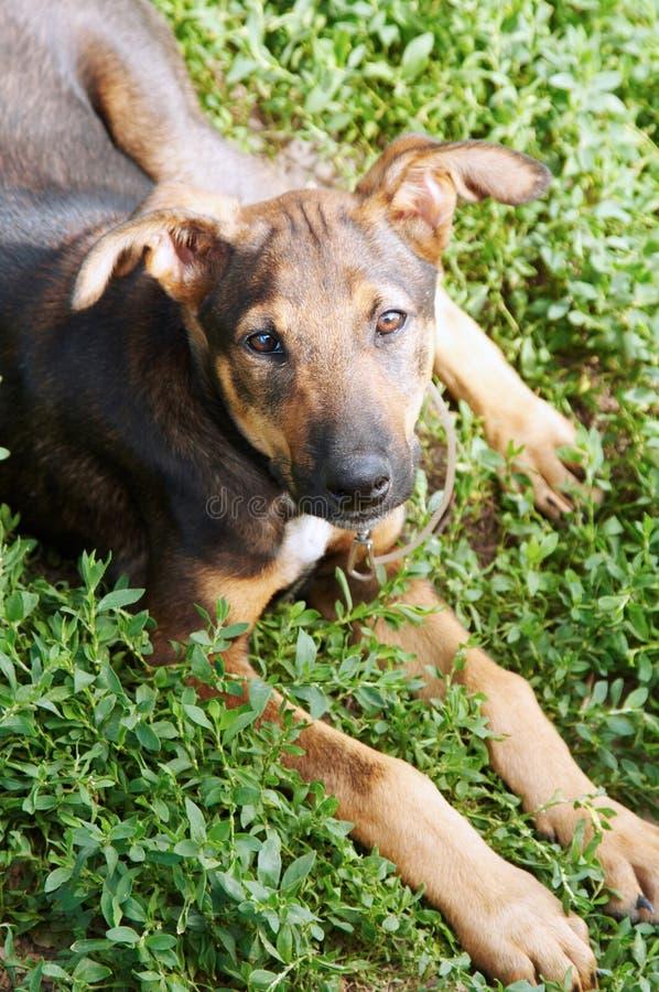 Cão do híbrido foto de stock royalty free