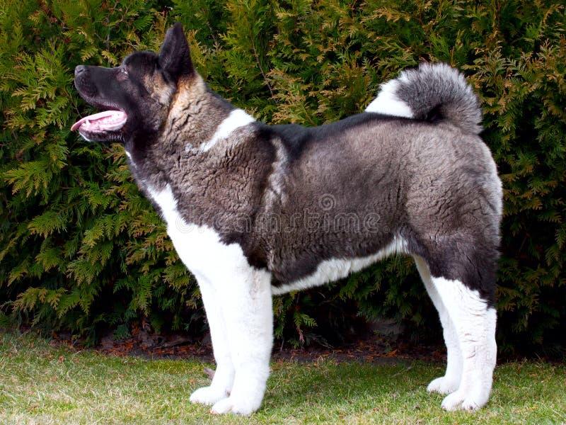 Cão do inu de Akita foto de stock royalty free