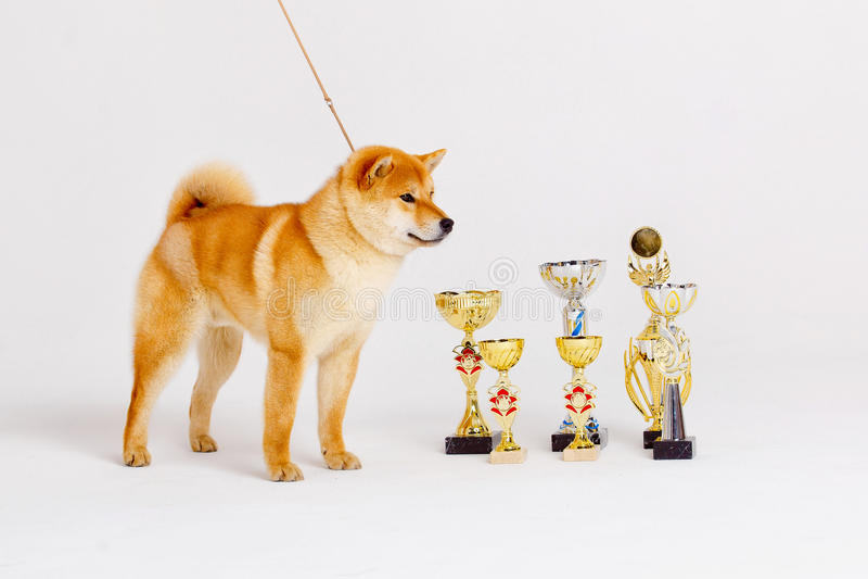 Cão do inu de Shiba em um fundo branco imagem de stock royalty free