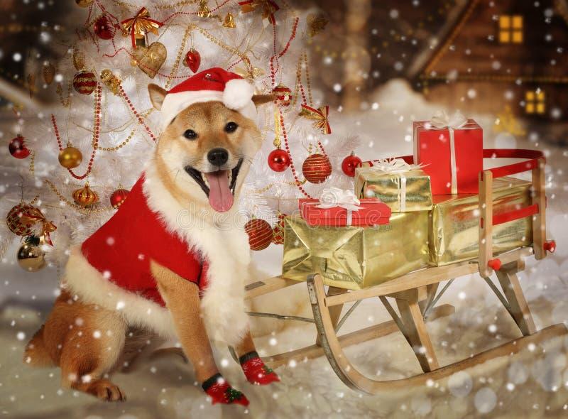 Cão do inu de Shiba na roupa de Santa imagens de stock
