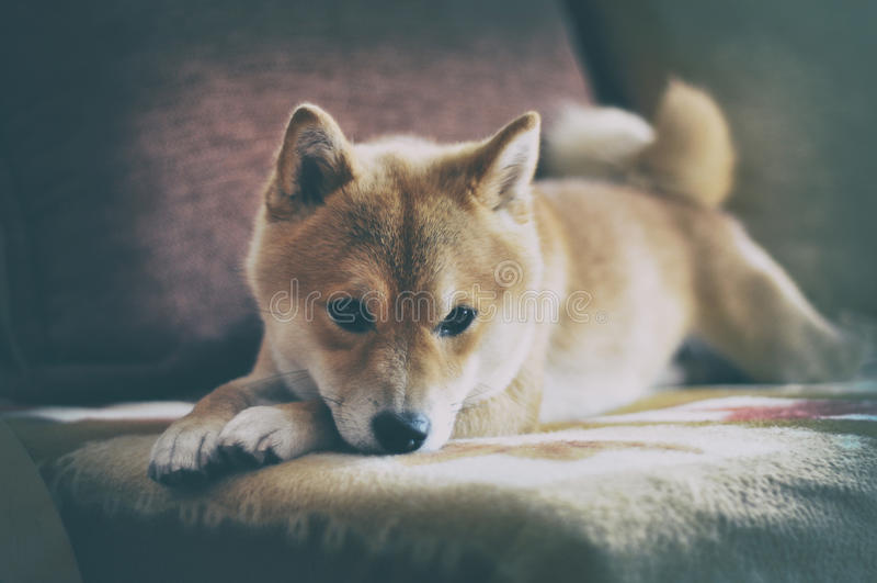 Cão do inu de Siba do vintage imagem de stock