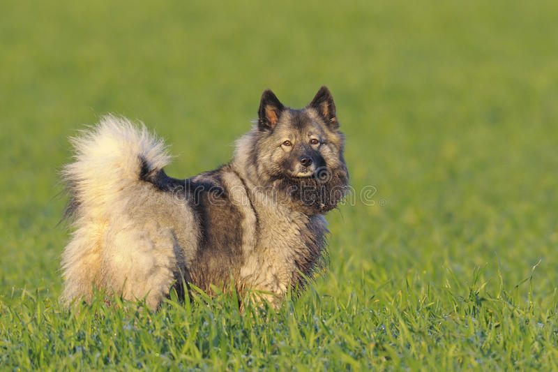 Cão do Keeshond foto de stock