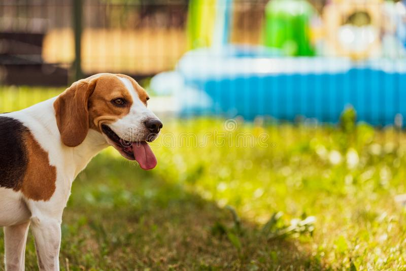 Cão do lebreiro em um jardim com língua para fora fotografia de stock royalty free