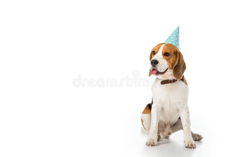 cão do lebreiro no cone do partido que cola a língua para fora imagem de stock