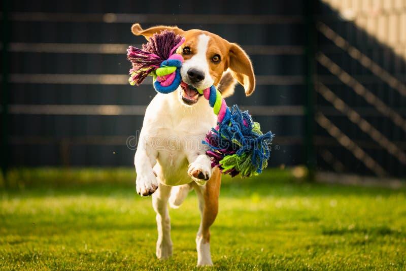 Cão do lebreiro que busca um brinquedo da corda foto de stock royalty free