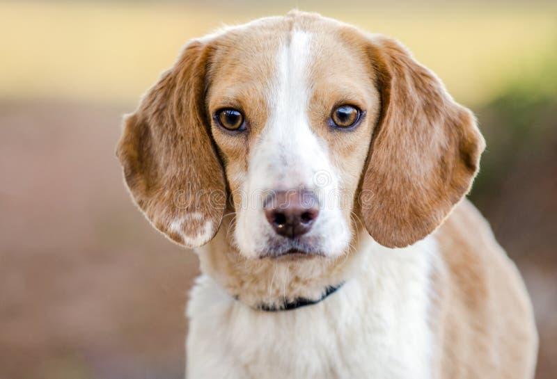 Cão do lebreiro, Walton County Animal Shelter imagens de stock royalty free
