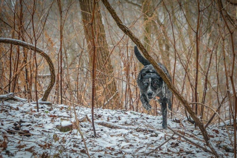 Cão do leopardo de Catahoula que caça na neve imagem de stock royalty free