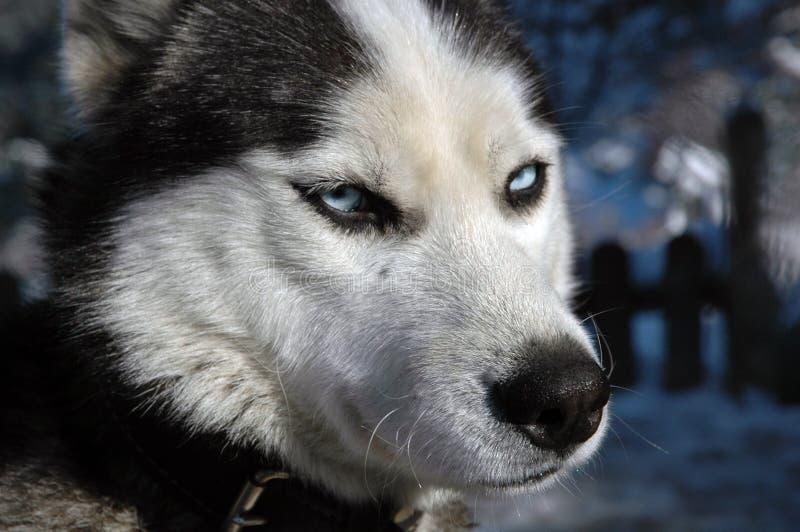 Cão do lobo fotografia de stock