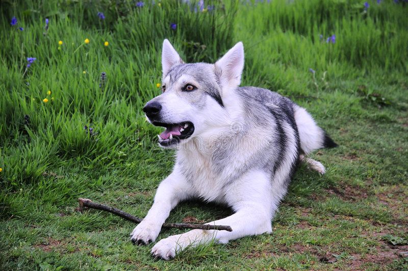 Cão do lobo do Inuit fotos de stock
