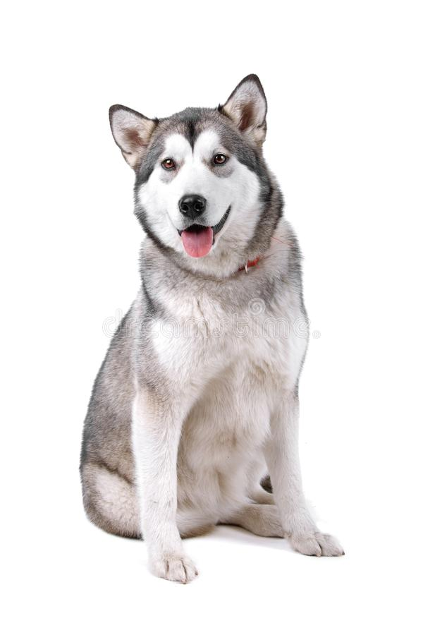 Cão do Malamute do Alasca fotos de stock