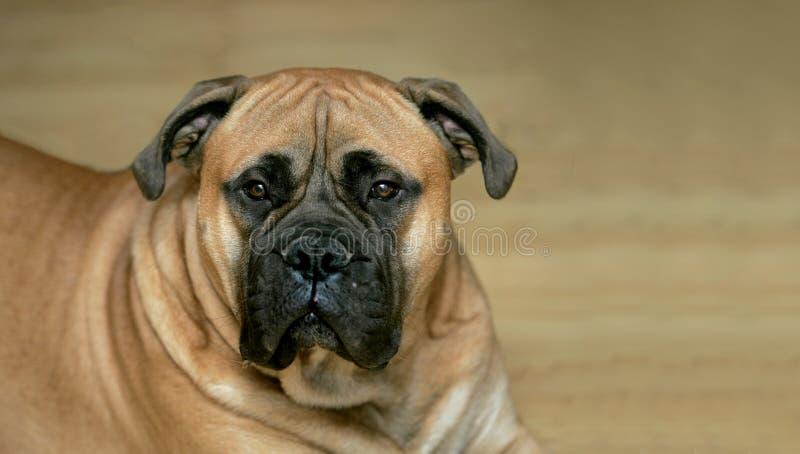 Cão do mastiff de Bull foto de stock