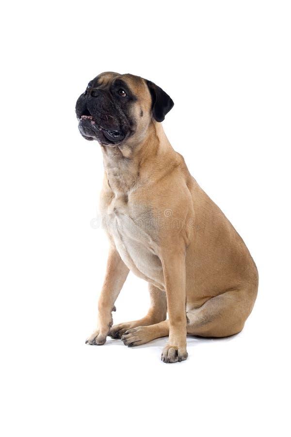 Cão do mastiff de Bull fotografia de stock