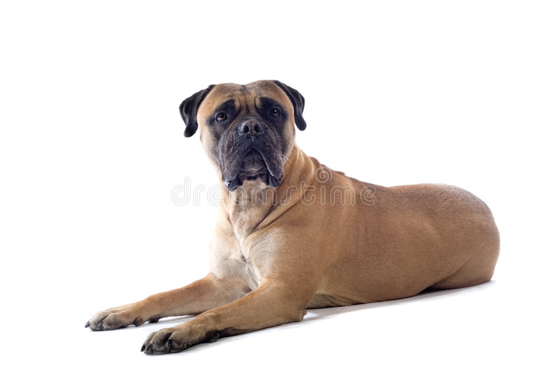 Cão do mastiff de Bull imagem de stock royalty free