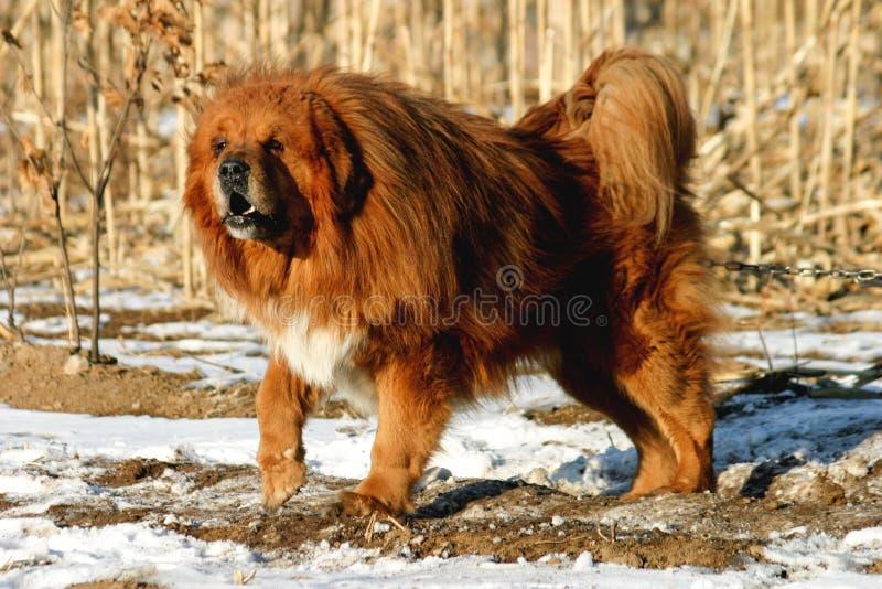 Cão do Mastiff tibetano imagem de stock