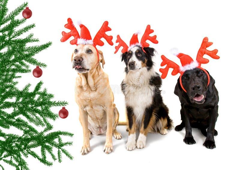 Download Cão do Natal imagem de stock. Imagem de macho, colar - 16863213