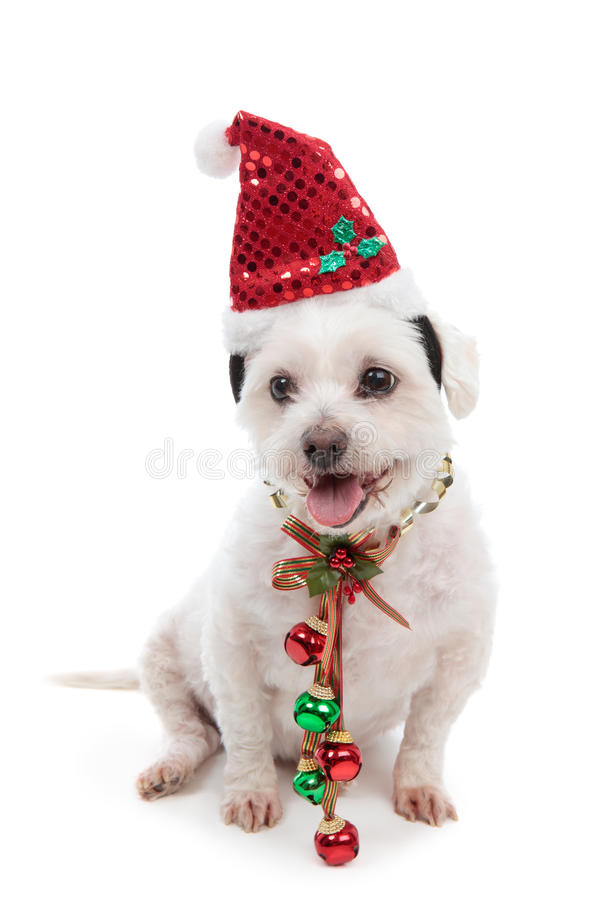 Cão do Natal com sinos de tinir foto de stock royalty free