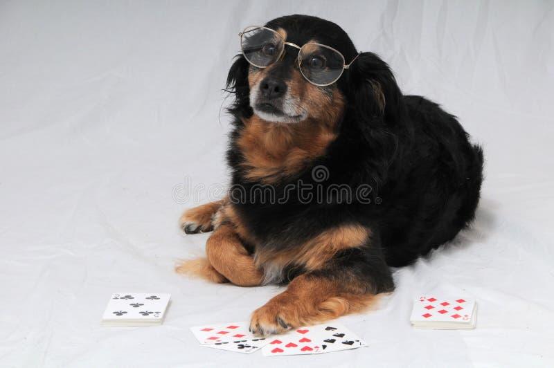 Cão do pôquer imagem de stock